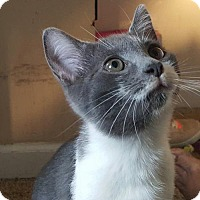 Domestic Shorthair Cat for adoption in Knoxville, Tennessee - Boogie