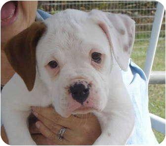 Lacy | Adopted Puppy | Pisgah, AL | Boxer/English Bulldog Mix