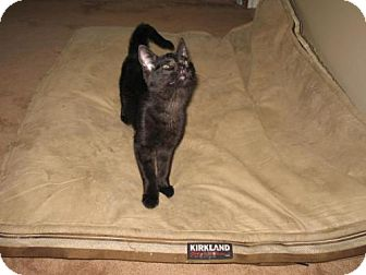 Domestic Shorthair Cat for adoption in Grand Rapids, Michigan - Brent
