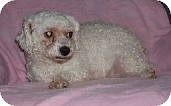 Bichon Frise Mix Dog for adoption in Homer, New York - Ivy