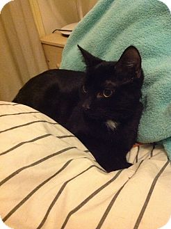 Bombay Kitten for adoption in Brooklyn, New York - Ying