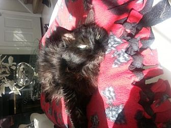 Domestic Shorthair Cat for adoption in San Jose, California - Angel C