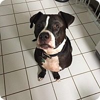 Adopt A Pet :: Sir Charles - Eastpointe, MI