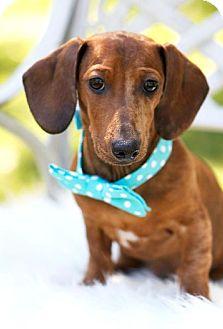 Dachshund Dog for adoption in San Antonio, Texas - Aiden