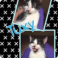 Adopt A Pet :: Tuxy - Scottsdale, AZ