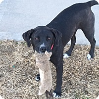 Labrador Retriever/Pit Bull Terrier Mix Dog for adoption in Kansas city, Missouri - Harley