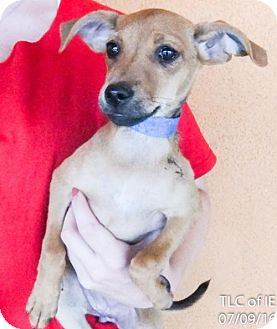 Boxer Mix Puppy for adoption in Moreno Valley, California - 20160709B
