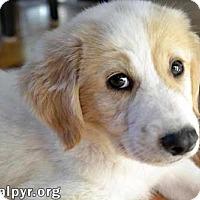 Adopt A Pet :: Chance - new pup! - Beacon, NY