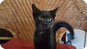 Domestic Shorthair Kitten for adoption in Morgantown, West Virginia - Pixie