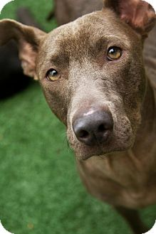 Terrier (Unknown Type, Medium)/Weimaraner Mix Dog for adoption in Mt Pleasant, South Carolina - Blue