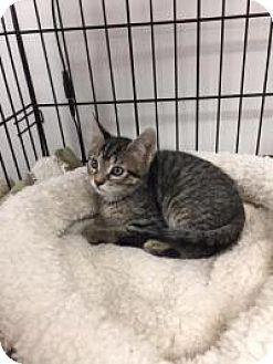 Domestic Shorthair Kitten for adoption in Tehachapi, California - Poppy