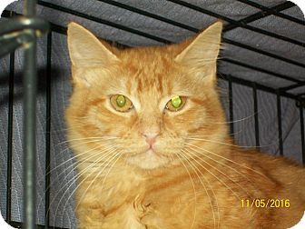 Domestic Mediumhair Cat for adoption in Mexia, Texas - Puff