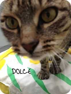 Domestic Mediumhair Cat for adoption in Great Neck, New York - Dolce