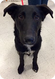 Labrador Retriever/Shepherd (Unknown Type) Mix Dog for adoption in Manchester, Connecticut - Sammy in CT