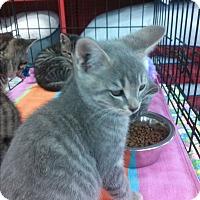 Adopt A Pet :: Silvers - Alamo, CA