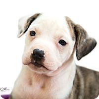 Adopt A Pet :: Emme - Manchester, NH