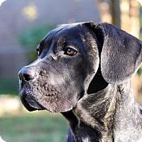 Adopt A Pet :: Amico - Virginia Beach, VA