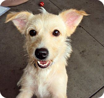 Jack Russell Terrier/Terrier (Unknown Type, Medium) Mix Dog for adoption in San Diego, California - Lupita