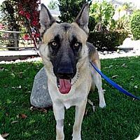 German Shepherd Dog Dog for adoption in Newport Beach, California - Zeus