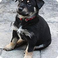 Adopt A Pet :: Ringo - La Habra Heights, CA