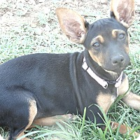 Adopt A Pet :: Harper - Las Cruces, NM