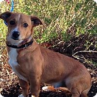 Labrador Retriever/Hound (Unknown Type) Mix Dog for adoption in Schertz, Texas - Tucker JH
