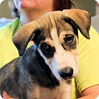 Adopt A Pet :: Olaf - Naugatuck, CT