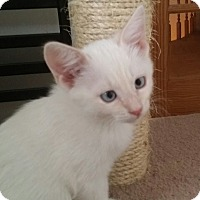 Adopt A Pet :: Han Solo - San Fernando Valley, CA