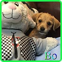 Adopt A Pet :: Bo - Hollywood, FL