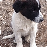 Adopt A Pet :: Teddy - Iran Pup - Encino, CA