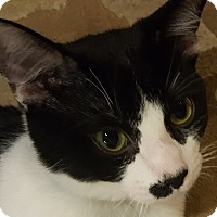 Adopt A Pet :: Oreo - Loveland, CO