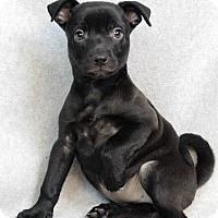 Adopt A Pet :: Sia - Westminster, CO