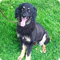 Adopt A Pet :: Solomon - Foster needed! - Detroit, MI