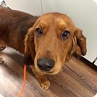 Adopt A Pet :: Spencer - New Canaan, CT