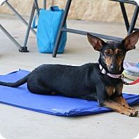 Adopt A Pet :: Foxy - Seguin, TX