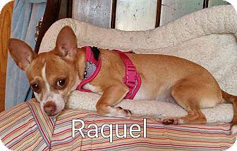 Chihuahua Mix Dog for adoption in Encinitas (San Diego), California - Raquel