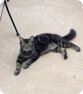 Domestic Shorthair Cat for adoption in Covington, Kentucky - Joe