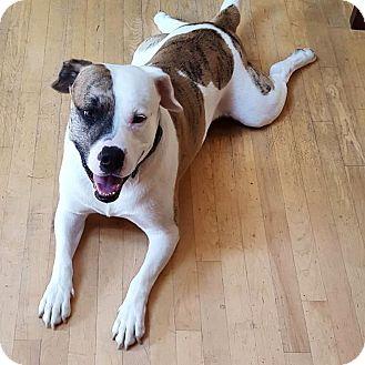 St. Bernard/Mastiff Mix Dog for adoption in Warrenville, Illinois - Rollie