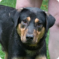 Rottweiler/Shepherd (Unknown Type) Mix Dog for adoption in Versailles, Kentucky - Buddy