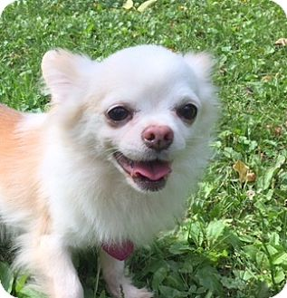 Chihuahua Dog for adoption in Pardeeville, Wisconsin - Captain