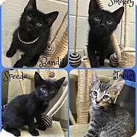 Adopt A Pet :: Tabby - Joliet, IL