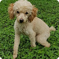 Poodle (Toy or Tea Cup) Dog for adoption in Sheridan, Illinois - Tanjee