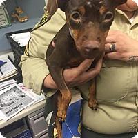 Adopt A Pet :: Liza - Chino Hills - Chino Hills, CA