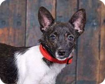 Rat Terrier/Terrier (Unknown Type, Small) Mix Dog for adoption in Sudbury, Massachusetts - Milo