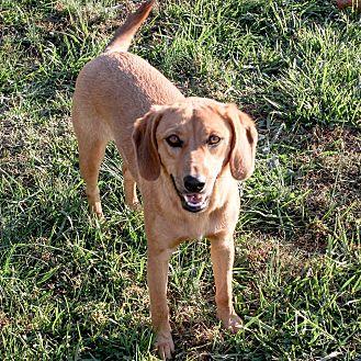 Beagle/Labrador Retriever Mix Puppy for adoption in Russellville, Kentucky - Butterscotch