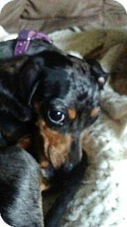 Dachshund Mix Dog for adoption in Georgetown, Kentucky - Addie