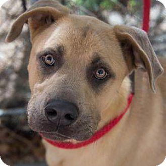 Labrador Retriever/Husky Mix Dog for adoption in Decatur, Georgia - NICO