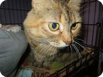 Domestic Mediumhair Cat for adoption in Coos Bay, Oregon - Ting a ling