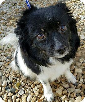 Pomeranian Mix Dog for adoption in Monrovia, California - Shelly