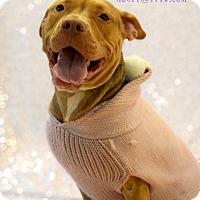 Adopt A Pet :: Colette - Cherry Hill, NJ